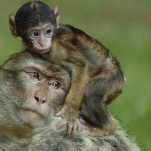 A new Barbary Macaque monkey is born at Trentham Forest.