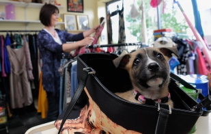 Rescue dog, Primrose, takes refuge in a bag at the Just For Dogs charity shop.