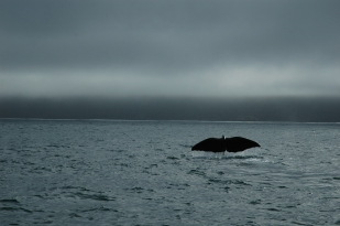 A humpbacked whale in New Zealand.